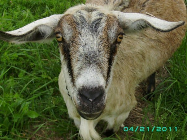 Can Dairy Goats Save You Money? I don't know, but look how cute she is!