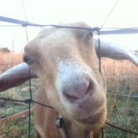 Dairy Goats: Can They Save You Money?