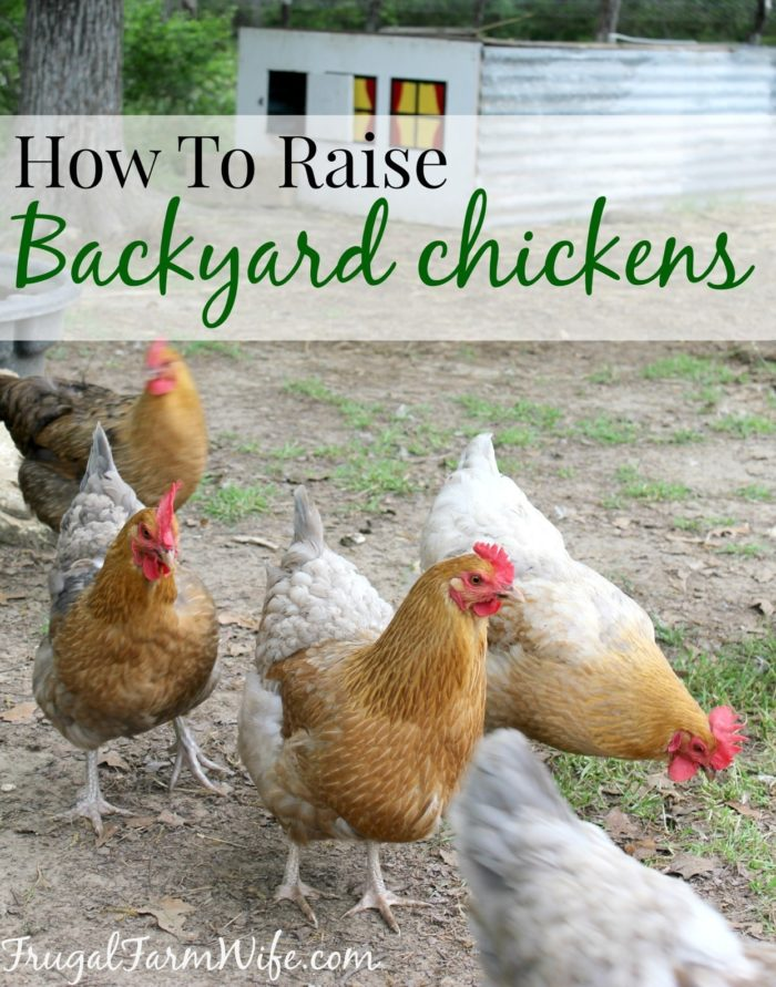 How To Raise Chickens In Your Backyard - How To Raise Chickens In Your Backyard The Frugal Farm Wife