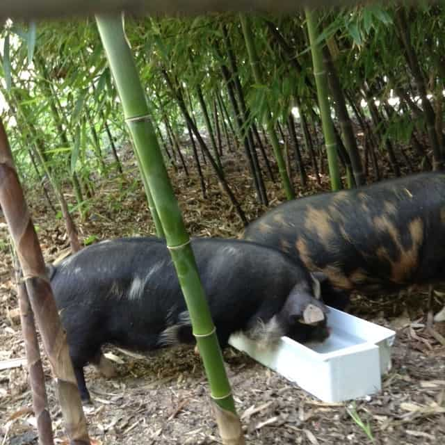 What Happened To The Farm?: Our Kunekune piglets