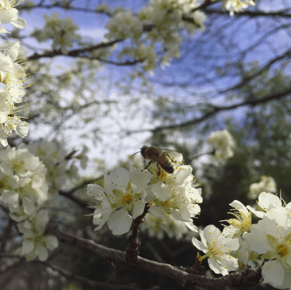 bees on the plum tree