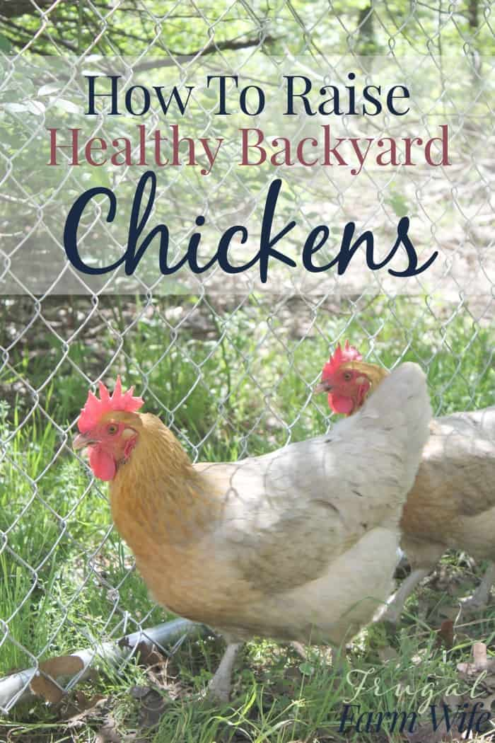 How To Raise Healthy Chickens In Your Backyard