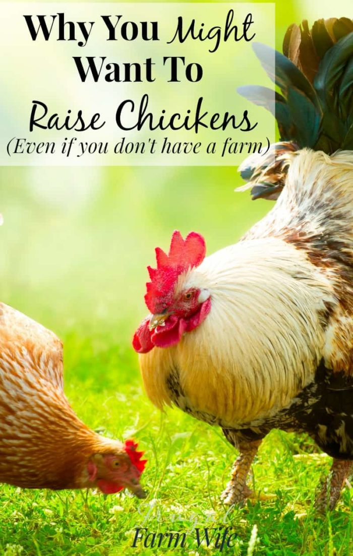 Raising Chickens Without A Farm - You Can Keep Them In Your Backyard!