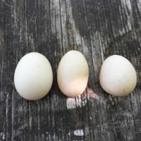 Weekend Wrap-up: Ducks and Eggs