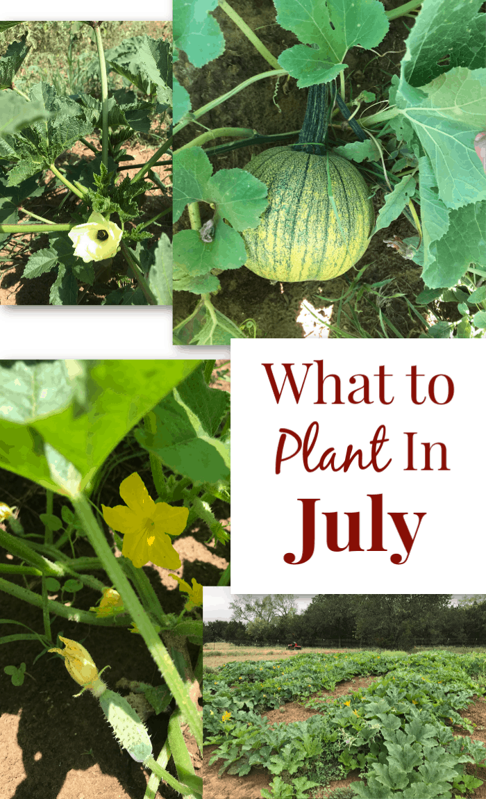 Summer vegetables to grow - what to plant in July.