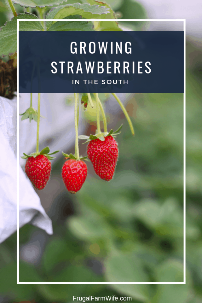 As we head toward gardening season, check out these tips for growing strawberries in the south!