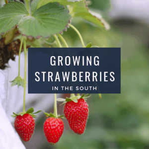 Growing Strawberries In the South