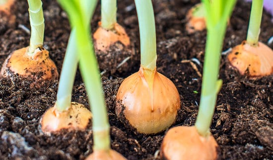 Onions growing in a garden