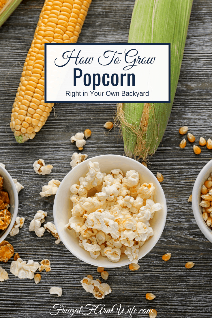 Thinking about growing popcorn in your garden this year? Here's how to grow popcorn right in your own backyard!