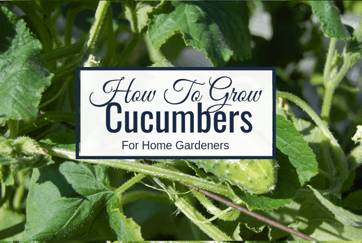 home gardener's guide to growing cucumbers