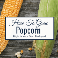 How To Grow Popcorn