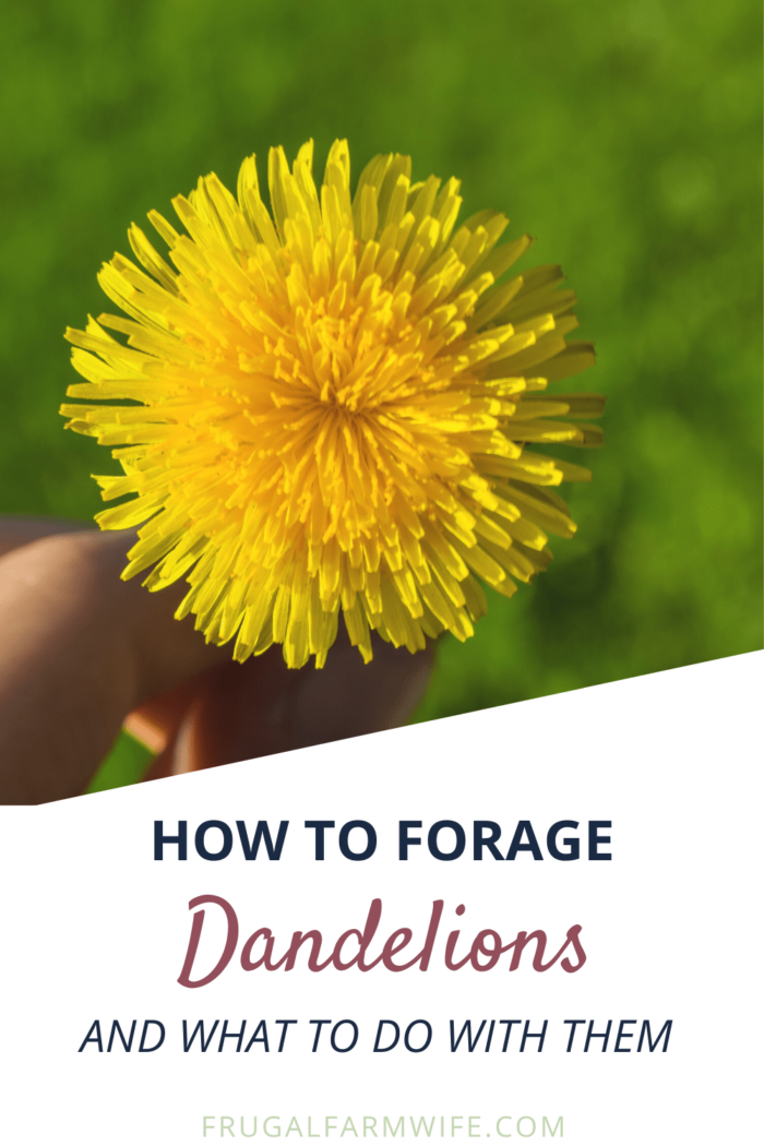 How to forage dandelions for eating and medicinal purposes