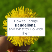 how to forage dandelions